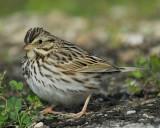 1670f_savannah_sparrow