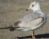 ring-billed gull BRD0807.jpg