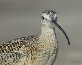 long-billed curlew BRD0797.jpg