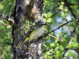 IMG_3844 Blue-headed Vireo.jpg