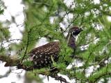 IMG_2146 Spruce Grouse.jpg
