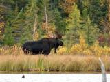 IMG_2424 Bull Moose.jpg