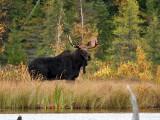 IMG_2420 Moose.jpg