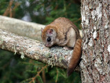 IMG_3594 Flying Squirrel.jpg