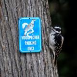 FWB 0921 Hairy Woodpecker.jpg