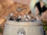 FWB 9815  Brewers sparrows.jpg
