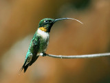 FWB 2362a Hummingbird.jpg