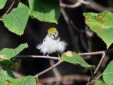 FWB 9704 Chestnut-sided Warbler juvenile.jpg