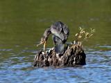 FWB 6472 Double-crested Cormorant.jpg