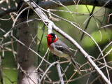 IMG_9177 Red-faced Warbler.jpg