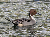 IMG_5091 Northern Pintail male.jpg
