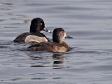 IMG_4038 Ring-necked Duck.jpg