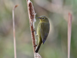 IMG_3737 Orange-crowned Warbler.jpg