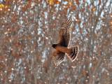 IMG_3166 Harrier.jpg