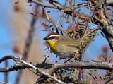 IMG_6984 Rufous-capped Warbler.jpg