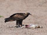 IMG_8651 Golden Eagle.jpg