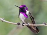 IMG_3704 Costa's Hummingbird.jpg
