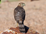 IMG_3935 Cooper's Hawk.jpg