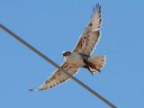 IMG_7873a Ferruginous Hawk.jpg