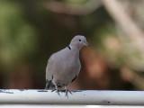 IMG_8286 Eurasian Collared Dove.jpg
