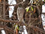 IMG_5457 Sharp-shinned Hawk.jpg