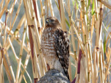 IMG_2489 Red-shouldered Hawk.jpg