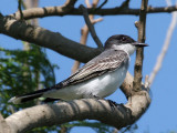 IMG_2335 Eastern Kingbird.jpg
