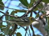 IMG_0360a Olive Warbler.jpg