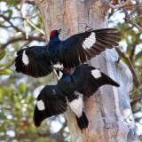 IMG_0475a Acorn Woodpeckers.jpg