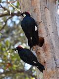 IMG_0479 Acorn Woodpeckers.jpg