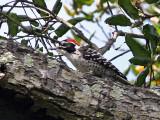 IMG_2410 Nuttall's Woodpecker - male.jpg