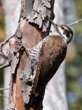 IMG_0310 Arizona Woodpecker - female.jpg