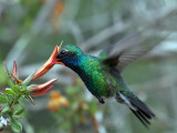 IMG_3426 Broad-billed Hummingbird.jpg
