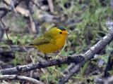 IMG_3605 Wilson's Warbler.jpg