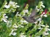 IMG_1264 Anna's Hummingbird.jpg