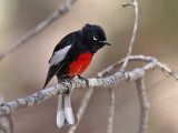 IMG_4286 Painted Redstart.jpg