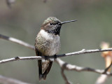 IMG_3974 Black-chinned Hummingbird.jpg