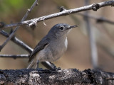 IMG_4431a Black-capped Gnatcatcher.jpg
