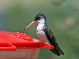 IMG_3897 Violet-crowned Hummingbird.jpg