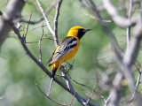 IMG_8181 Hooded Oriole.jpg