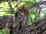 IMG_4861 Flammulated Owl.jpg