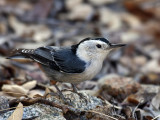 IMG_9627 White-breasted Nuthatch.jpg