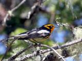 IMG_6897 Blackburnian Warbler.jpg