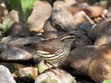IMG_5884 Northern Waterthrush.jpg
