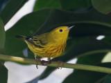 IMG_5221 Yellow Warbler.jpg
