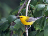 IMG_6814 Prothonotary Warbler.jpg