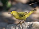 IMG_6668 Yellow Warbler female.jpg