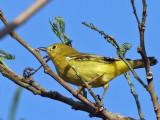 IMG_6383 Yellow  Warbler.jpg
