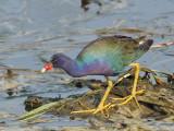 IMG_5263 Purple Gallinule.jpg