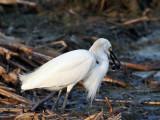 IMG_5527 Snowy Egret.jpg